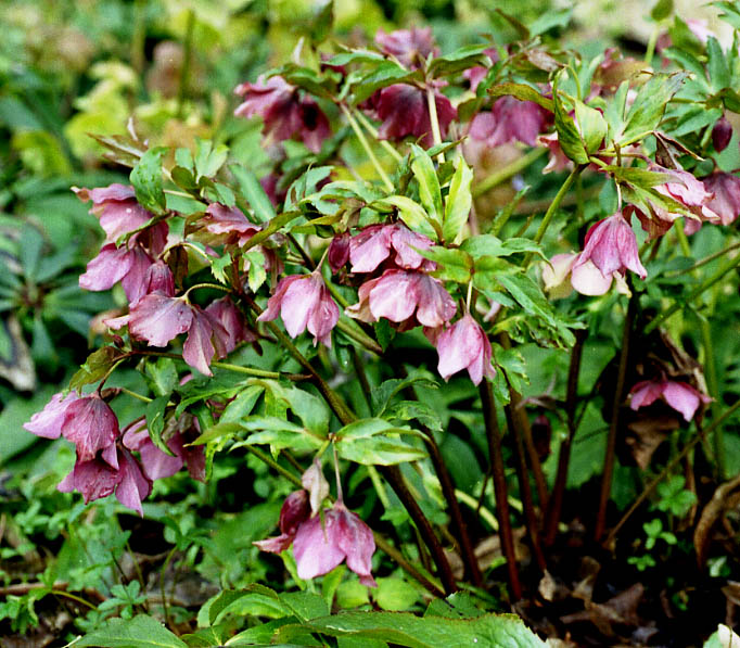 Look my pictures for Helleborus orientalis